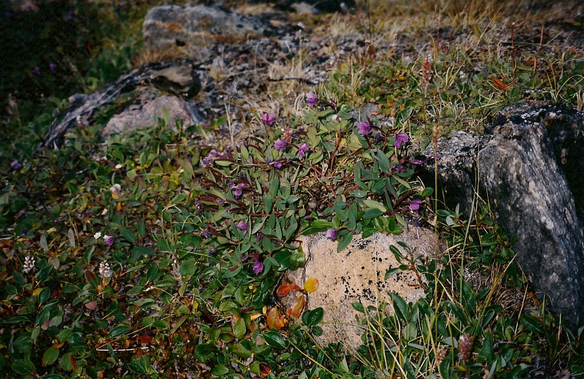 Download the full-sized image of Arctic flowers-- photograph