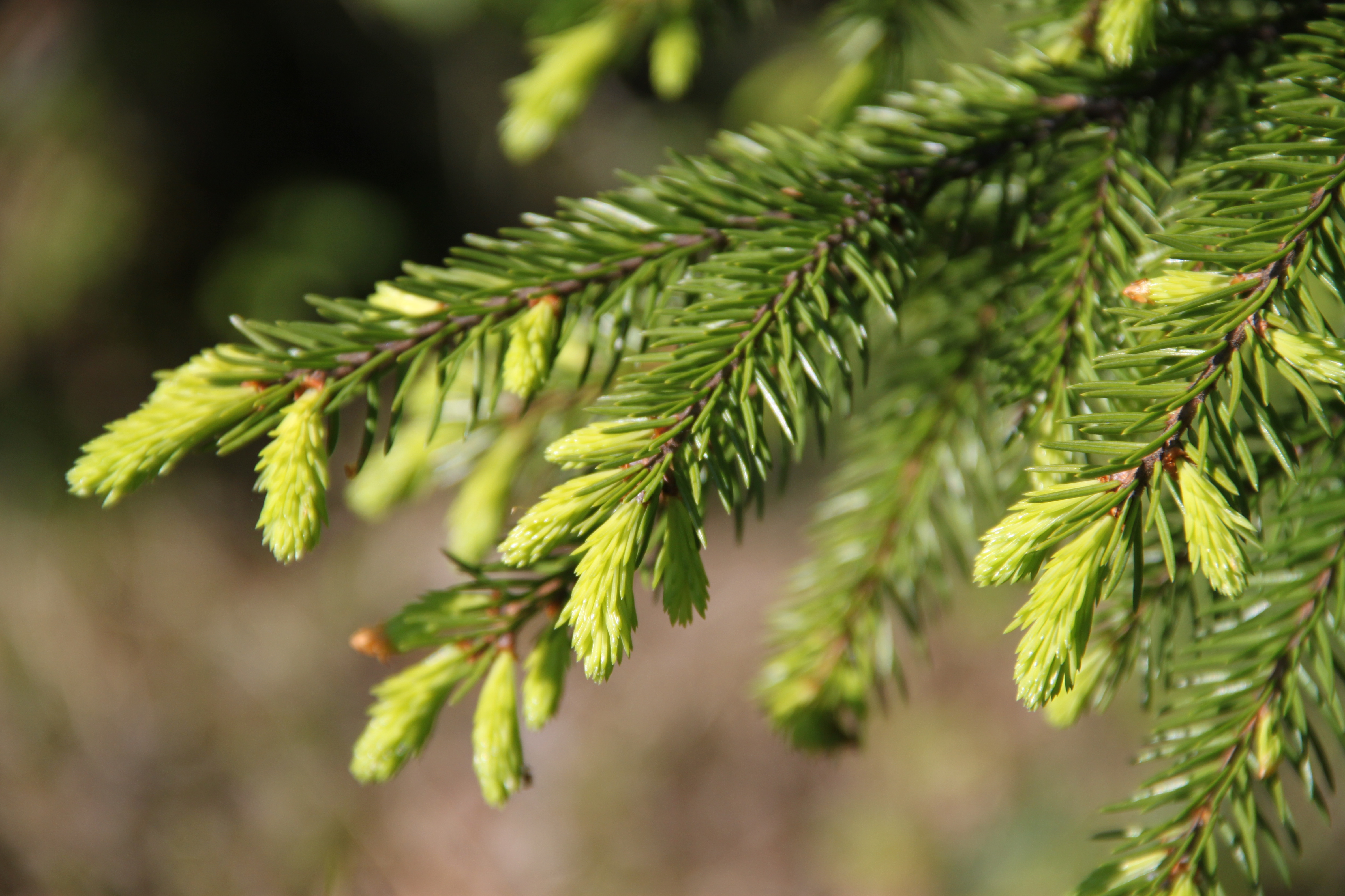 Download the full-sized image of New needles - Norway Spruce - Lulea, Sweden - Photograph