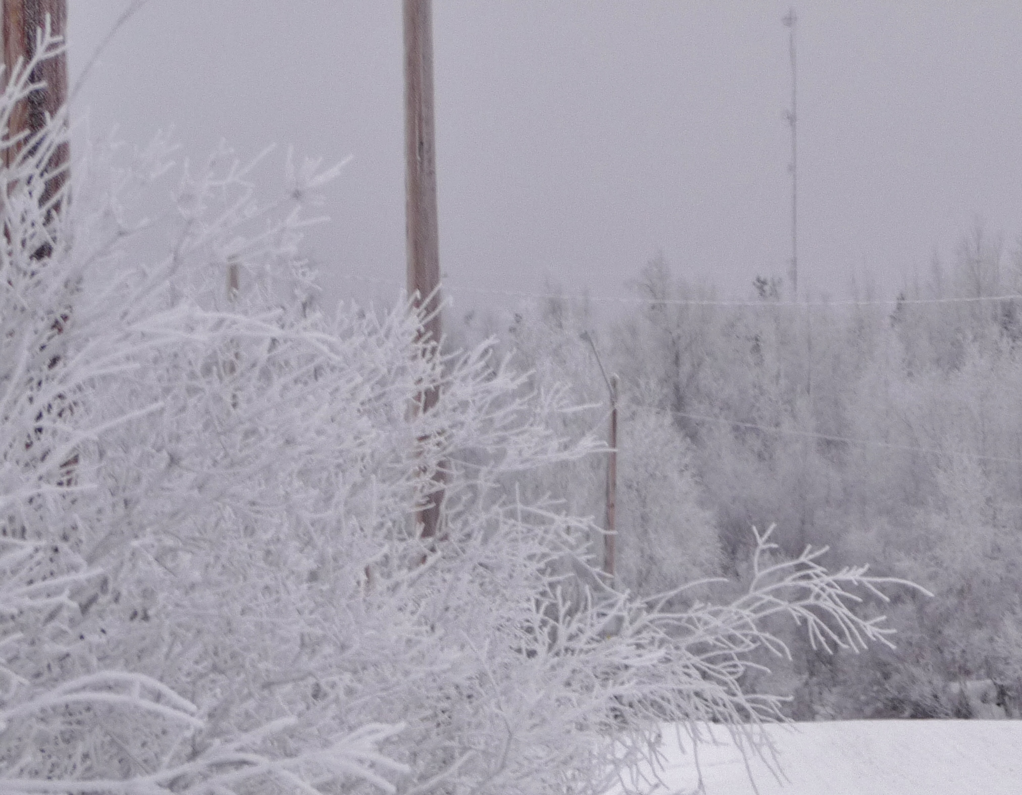 Download the full-sized image of Hoarfrost (Patuk) on Willows near Inuvik, NWT
