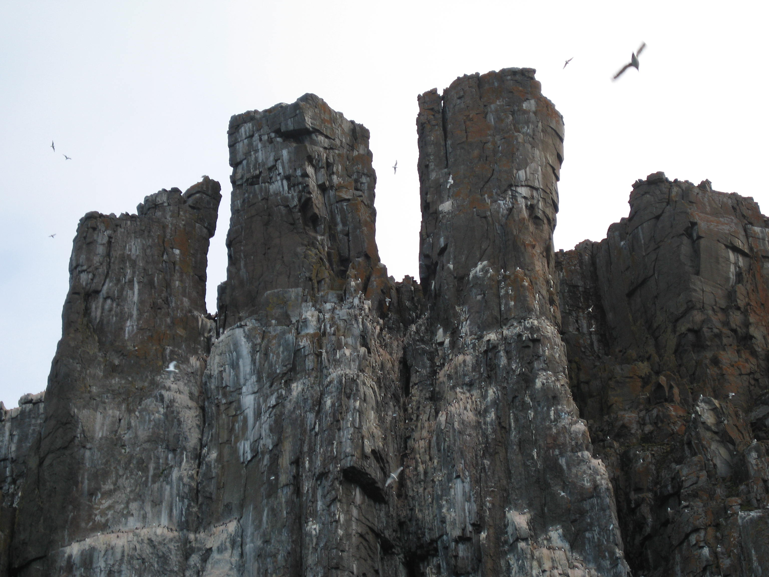 Download the full-sized image of Kittiwake colony -- photograph