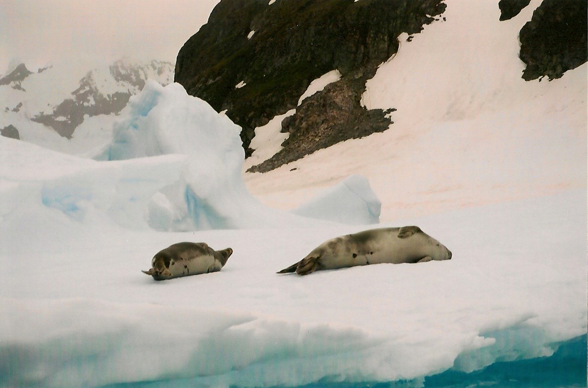 Download the full-sized image of Weddell seal -- photograph